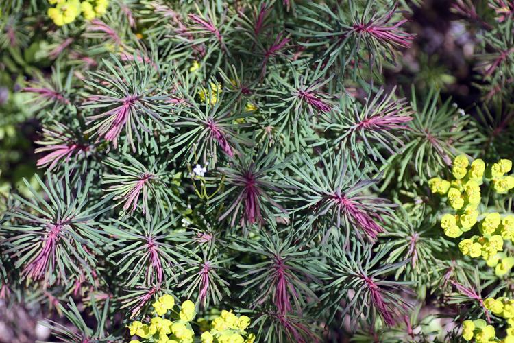 Euphorbia cyparissias Fens Ruby IP2A5586